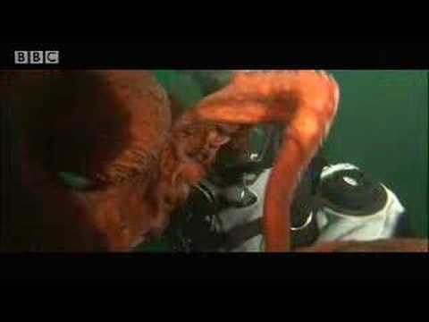 Wow! Giant octopus - extreme animals - BBC wildlife