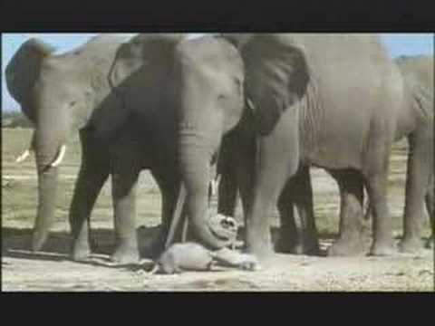 NATURE  | Unforgettable Elephants | A Mother's Anguish | PBS