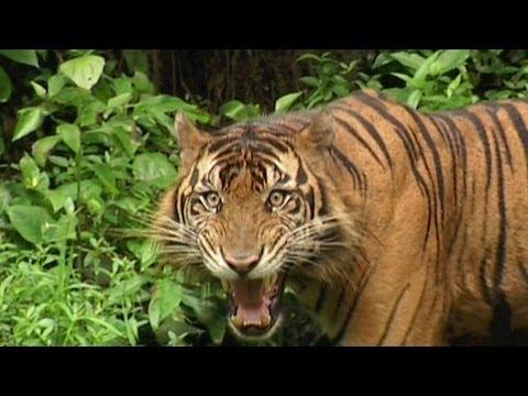 SUMATRAN TIGER - Vanishing Species...