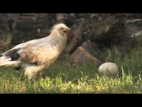 San Diego Zoo Kids - Egyptian Vulture