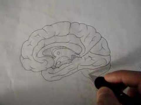 Neuroanatomy Tutorial 11 (Brain)