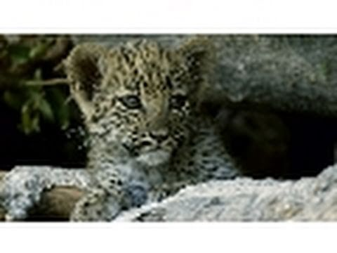 Newborn Leopard Cub