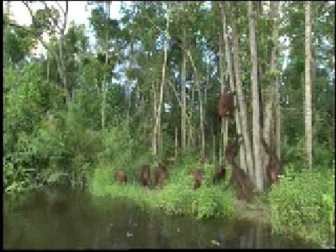 Orangutan Island - Walking Upright