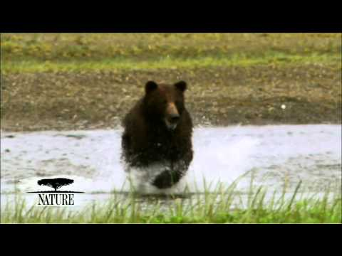 NATURE   Fortress of the Bears   A Desperate Mother   PBS