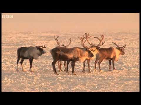 Urine-drinking reindeer! - Tribe - BBC