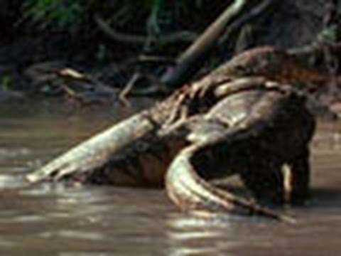 Water Monitor Lizard Wrestling