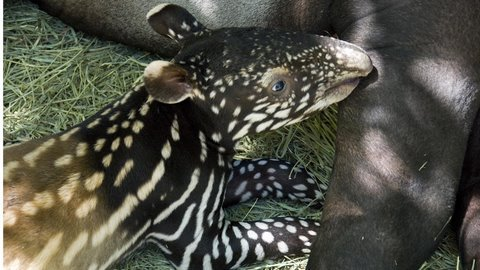 Tapir mom and baby cuteness