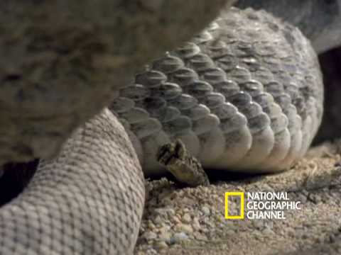 Rattlesnakes Display and Mate