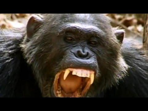Smash and Grab Chimps - Apes in Danger - BBC