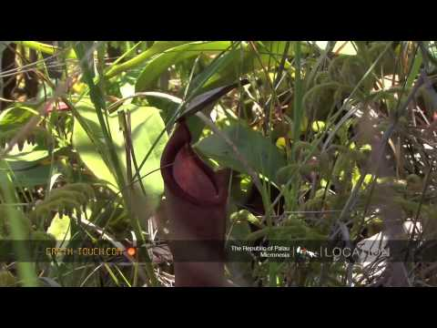Pitcher plant lures insects to their death