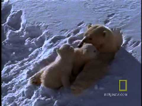 Polar Bear Moms and Cubs