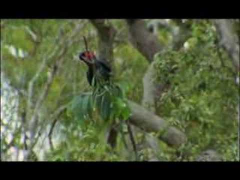 NATURE | Parrots in the Land of Oz | Drumming up love | PBS