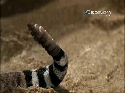 Rattlesnake Rattler