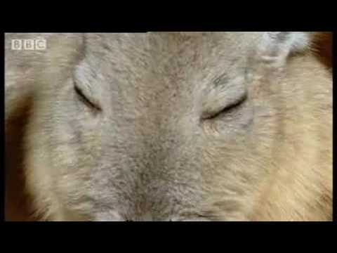 Sunbathing giant mice - weird creatures of the Andes! - Andes: The Dragons Back - BBC Wildlife