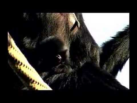 Siamang's Call of the Wild