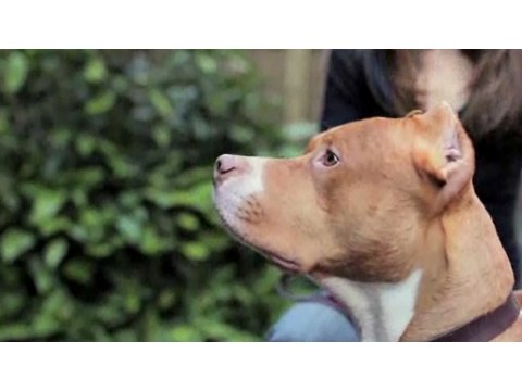 Understanding Dog Breeds: Pit Bull