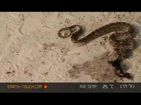Python regurgitates bird