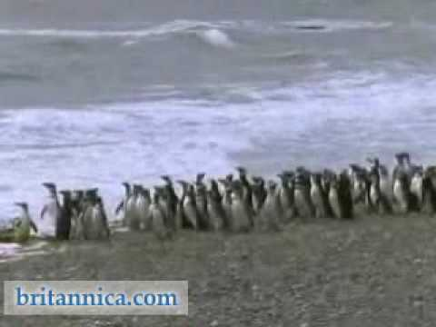 Seals & Penguins on the Coast of Argentina