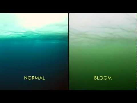 NASA   Massive Phytoplankton Bloom Discovered Under Arctic Sea Ice