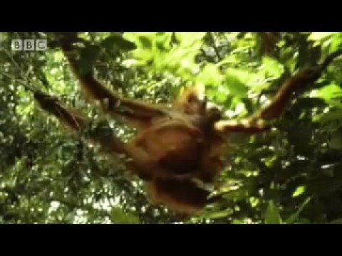 Threat of Orangutan extinction - Apes in Danger - BBC wildlife