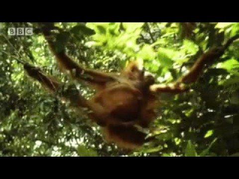 Threat of Orangutan extinction - Apes in Danger - BBC wildlife