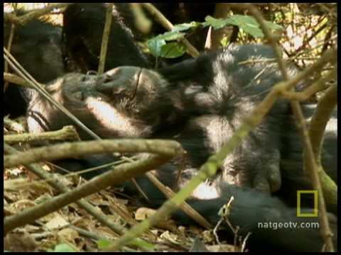 Tourists Killing Chimps?