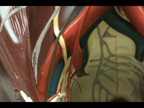 Torso Model - Abdominal Veins