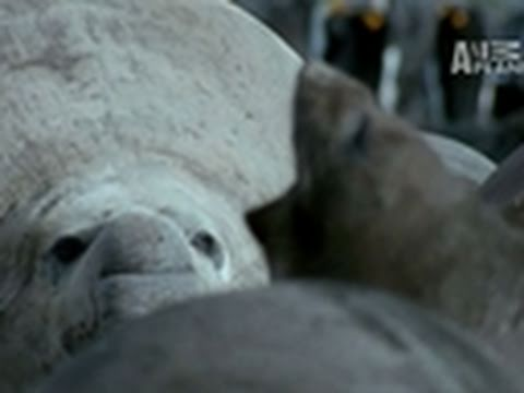 Wild Kingdom- Elephant Seal Birth
