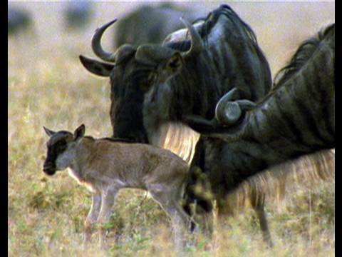 Wild for Wildebeest