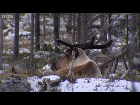 Stalking wild reindeer - Johnny Goes to Lapland - BBC