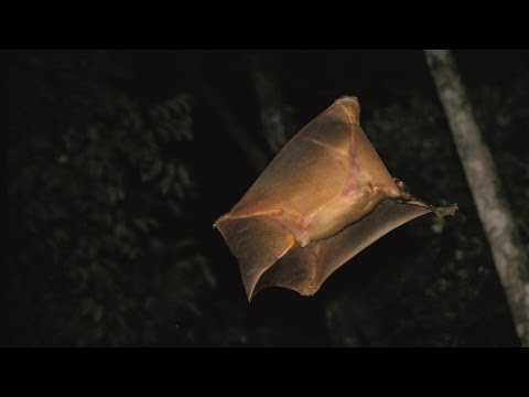 National Geographic Live! - It's a Bird, It's a Plane ... It's a Colugo?