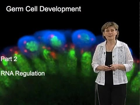 Ruth Lehmann Part 2: RNA Regulation