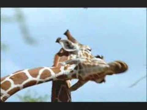 "NATURE | Tall Blondes | ""Giraffe 'Necking'"" 