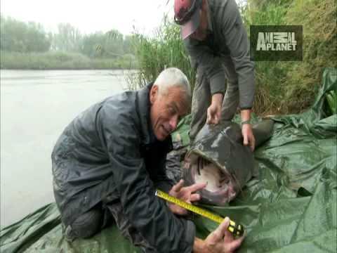 River Monsters - Monster Catfish