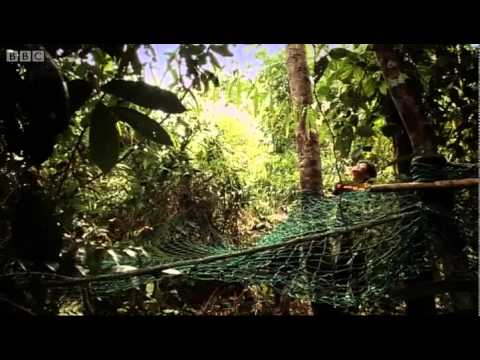 Shooting Orangutans, Part One - Orangutan Diary - BBC