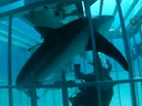 Surviving a Shark in a Cage