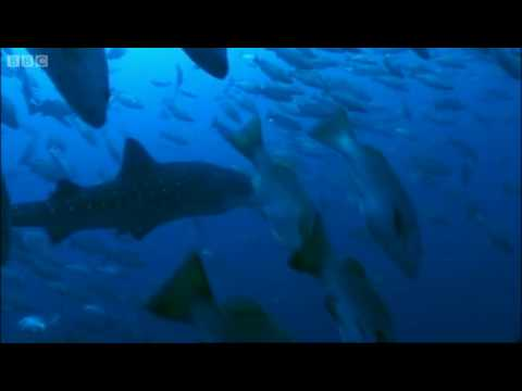 Whale Sharks: Memory Test - Smart Sharks - Swimming with Roboshark - BBC