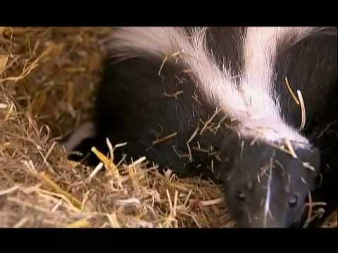 NATURE | Is That Skunk? | Baby Skunks | PBS