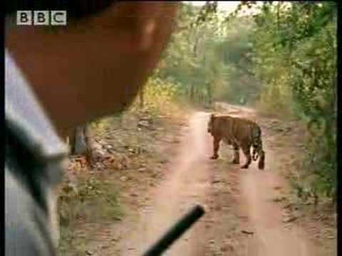 Tracking male tigers in the Emerald Forest, India - BBC wildlife