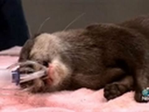 Otter Surgery at the National Zoo