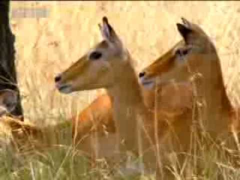 Wild leopard hunting  - BBC wildlife