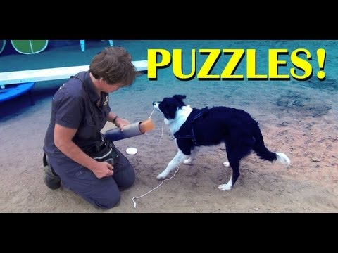 Thinking puzzles!- clicker dog training tricks