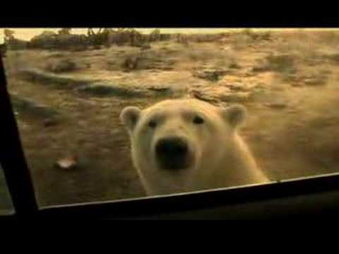Polar Bear Scare on Alaska Week