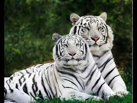 Name The Animal - Tiger Slideshow
