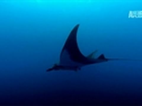 Wild Kingdom- Manta Ray Secrets Revealed