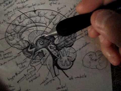 Neuroanatomy Tutorial 13 (Brain)