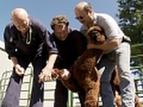 The Incredible Dr. Pol - Fixing Up Alpacas