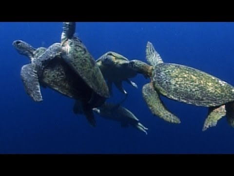 World's Weirdest - Sea Turtle Mating Melee