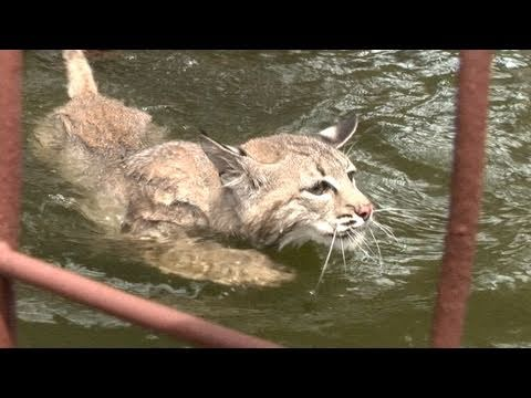 Swimming Bobcat!