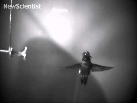 Spinning hummingbird shakes off raindrops